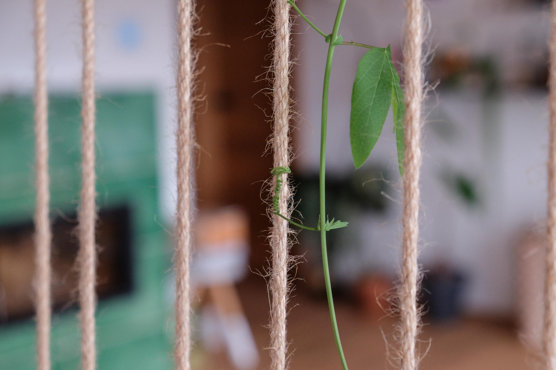 Passionsblume Kletterpflanze